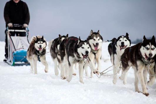 Sled dogs in Spain